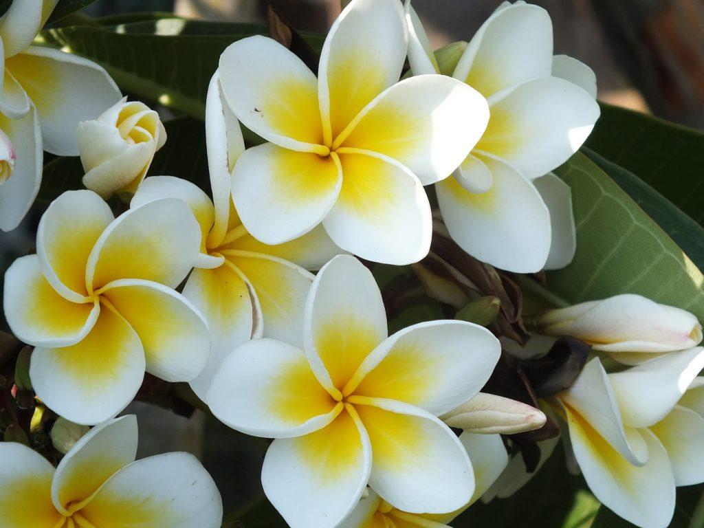 Flores-Jazmín