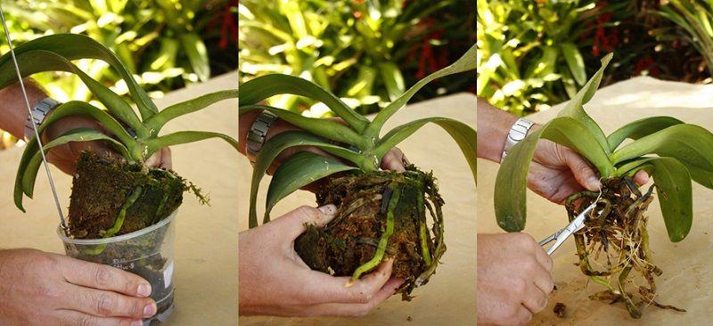pasos para trasplantar orquideas