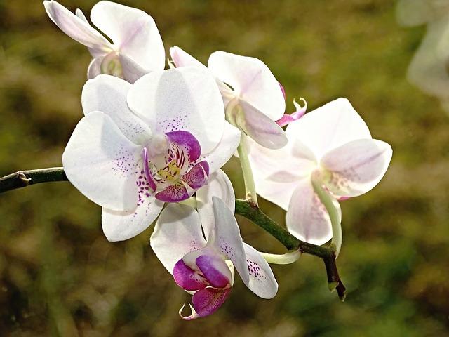orquidea blanca y morada floreciendo