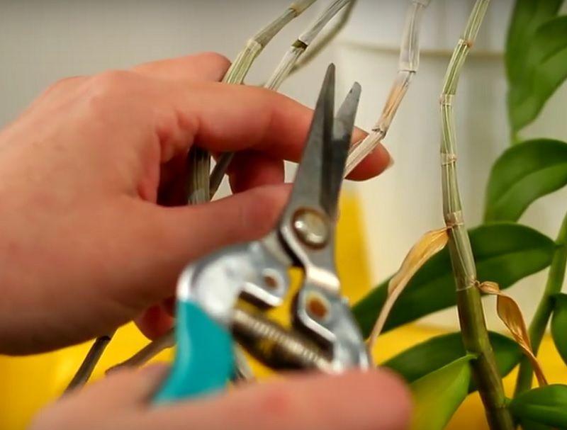 podando una orquidea